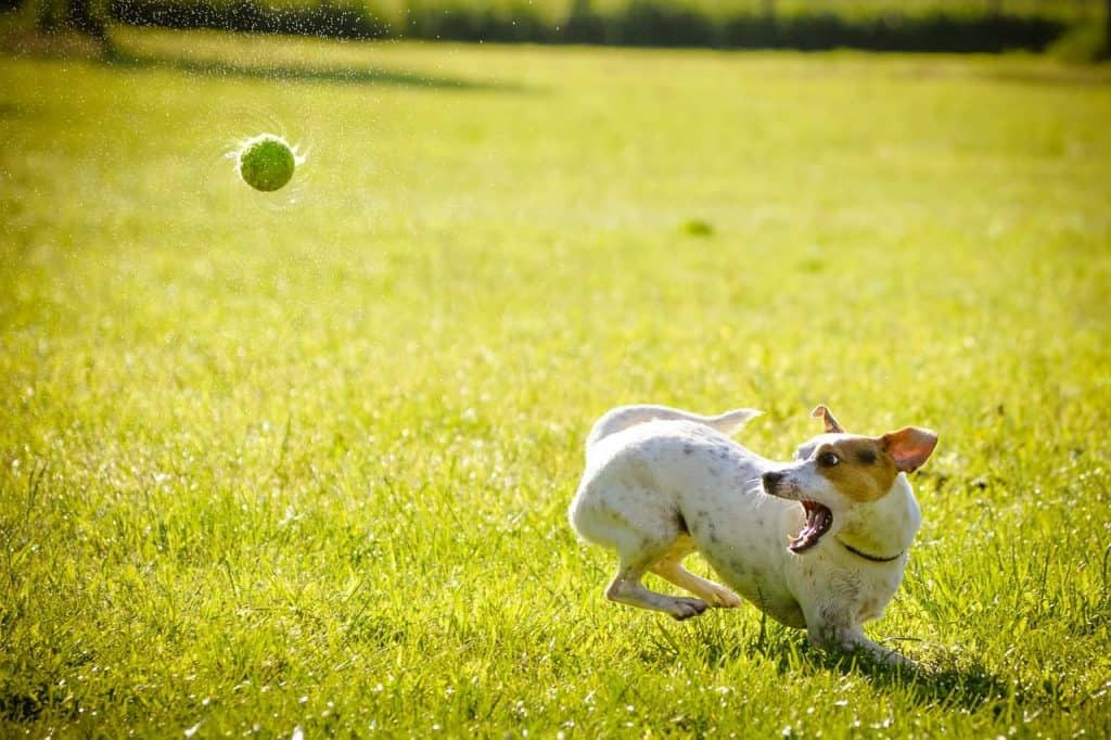 Dog playing with a ball in a park. If you want to be a professional dog sitter, check out an app like Rover for dogsitting jobs
