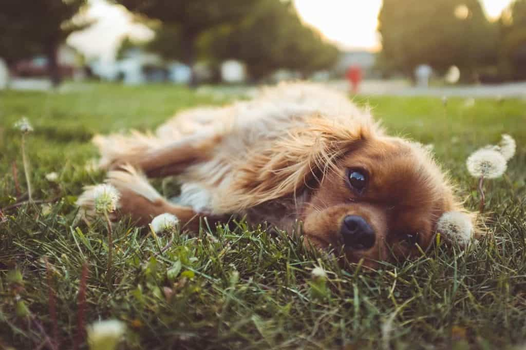 Cute dog lying in the grass. You can make good money dogsitting through an app like Rover