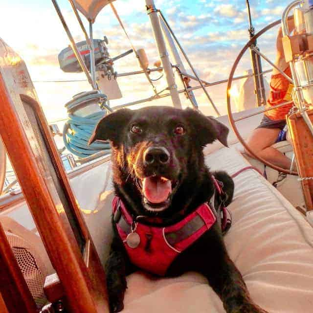 A beautiful boat dog sits on deck on a sailboat wearing a lifejacket.