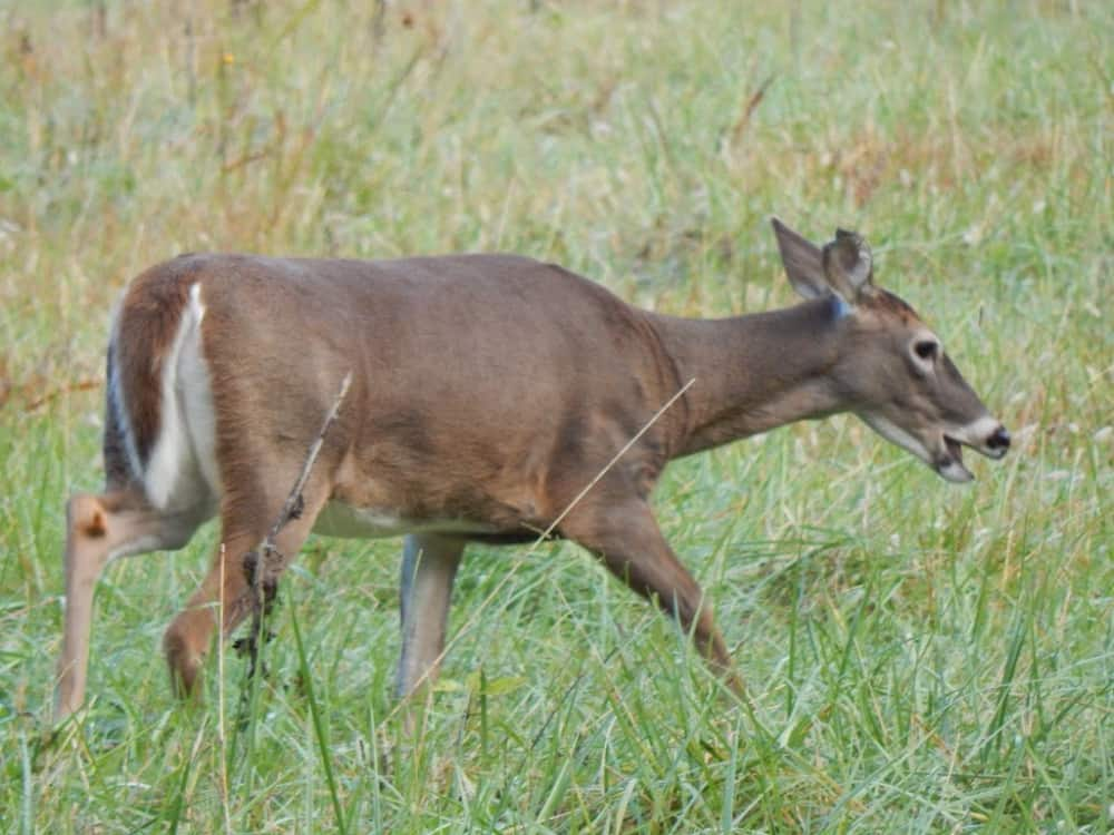 A deer eating grass in the Great Smoky Mountains