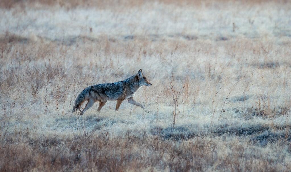 Coyote walking through tall grass